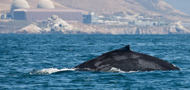 A humpback whale swims past Diablo nuclear power plant in California (photo Mike Baird)