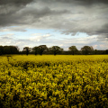 Rapeseed (Credit: Phil and Pam Gradwell, via Flickr)