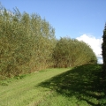 short rotation willow (photo SuSanA Secretariat)